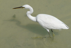 An egret stalks through the water.