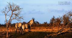 The Outback (SJ-Photography) Tags: horses panorama horse holland nature netherlands dutch canon landscape photography j photo foto fotografie sebastian nederland natuur s sj outback polder flevoland landschap almere paard paarden oostvaardersplassen konik natuurgebied sjphoto 175mm konikpaard goldstaraward sjphotography sebastianjphotography flickrcomsjphotography sjfotografie