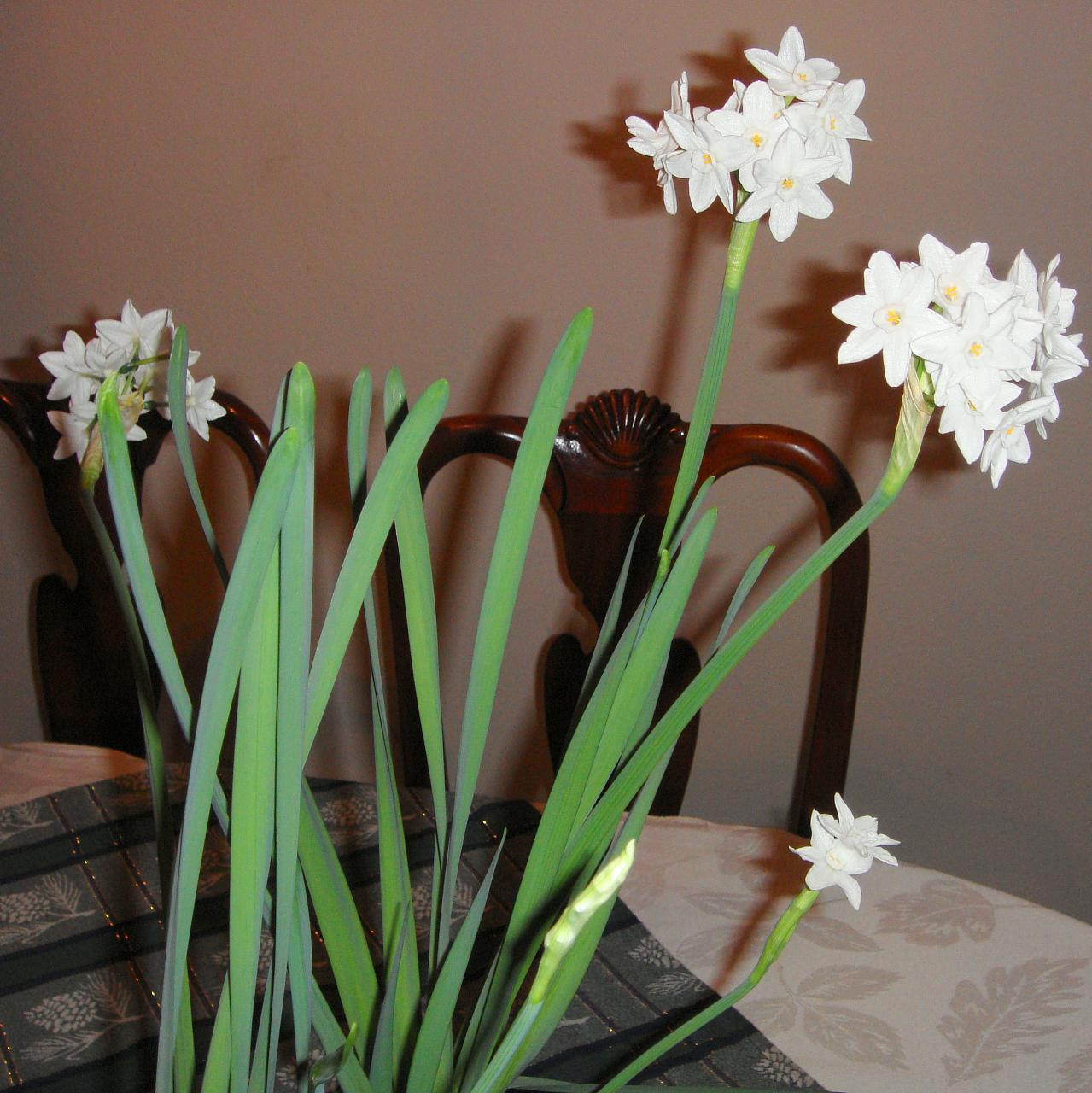 Paperwhite blooms