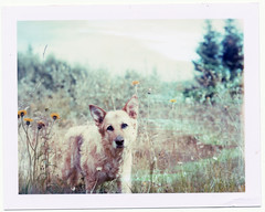 Lamentation (kaffekrus) Tags: summer dog polaroid frida linhof expired 2008 lament 669 technika thelittledoglaughed