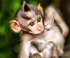 Garuk (Sayid Budhi) Tags: bali monkey punk alas mohawk punky monyet newhairstyle babymonkey gatal kedaton alaskedaton kete