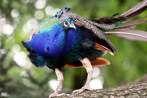 フリー写真素材, 動物, 鳥類, キジ科, 孔雀・クジャク,
