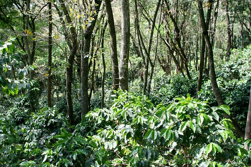 Forest coffee at Fazenda Fortaleza