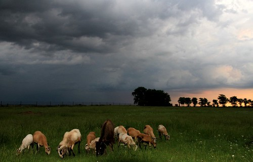 Animals Graze in a Meadow in Oklahoma