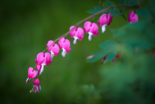 bleeding hearts-3905.jpg
