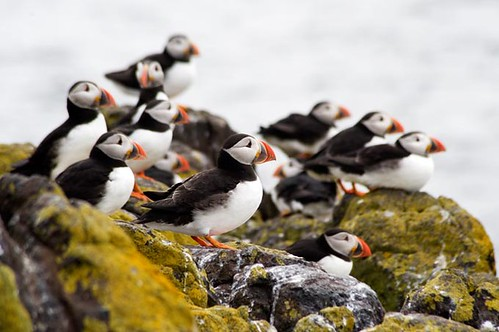 Cool Cluster of Cute Puffins - Isle of May - Scottish Coast by idg