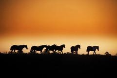 Madrugada (Eduardo Amorim) Tags: sunset brazil horses horse southamerica field brasil criollo caballo cheval atardecer caballos tramonto sonnenuntergang prdosol campo cavalos pelotas pferde cavalli cavallo cavalo pferd riograndedosul pampa poniente champ anoitecer coucherdesoleil hest hevonen campanha brsil chevaux entardecer crepsculo  amricadosul poente hst  amriquedusud   sudamrica suramrica amricadelsur  sdamerika crioulo caballoscriollos criollos  tropillas  costadoce americadelsud tropilhas tropilla  crioulos cavalocrioulo americameridionale caballocriollo auffangen eduardoamorim cavaloscrioulos