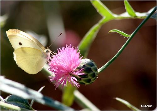 de la belleza de las centaureas y sus consecuencias como posadero de mariposas
