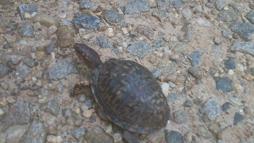 Box Turtle Boco 2