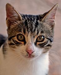 Kitten (Olympus OMD EM5) (markdbaynham) Tags: greek four hellas evil olympus greece grecia third mirco rodos rhodes omd csc dodecanese m43 mft em5 mirrorless u43 m43rd
