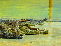 I am pretty crocodile, my Darling..