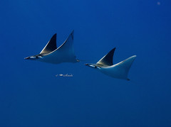 Devil Rays (sindhi) Tags: ocean blue fish water coral photography nikon underwater scuba diving devil rays reef maldives devilrays nikond80 incrediblenature maldivesphotos okobethila mantamobula mohamedseeneen mohamedseeneengmailcom maldivesunwaterimages maldivesunderwaterphotography imagesformaldives