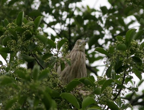 pond heron on ilex paraguensis tree lalbagh 220308