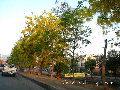 chiang mai riverside trees