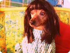beatnik pooch (EllenJo) Tags: dog pet costume harrison olympus wig disguise bangs 2008 miniaturepinscher beatnik picnik digitalimage minipin doginwig april2008 dogindisguise kittywig heissad poorharrison cleopatrahair