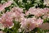 Pink Tulips in the Keukenhof (The Sandy) Tags: pink flower netherlands closeup tulips nederland pinkflower tulip bollen keukenhof tulpen roze bloem tulp lisse rozebloem tulpenbol