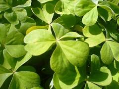 Clover (Elanorya) Tags: verde green nature clover terra acqua aria giardino trifoglio blueribbonwinner