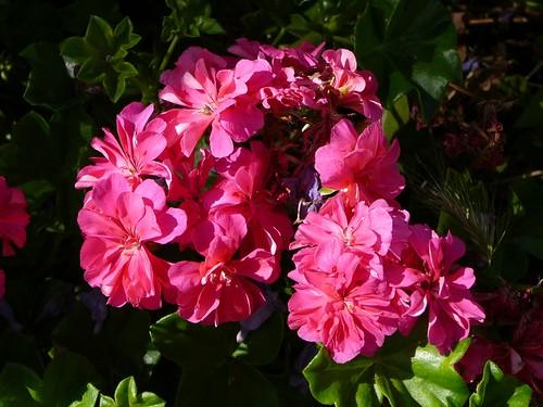 geraniums-1150069