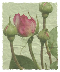 Rose Paper (m_r_harvey) Tags: old pink red summer flower green texture nature rose photoshop vintage garden paper faded worn aged etsy tear creased flowerotica atque artificia