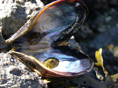 It's not a pearl! (Coutou) Tags: shell mussel flemingbeach anawesomeshot