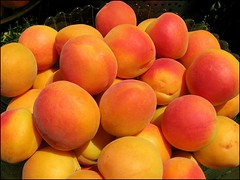 Blenheim apricot harvest