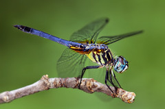 Dragonfly Perching (Thomas Shahan) Tags: macro k vintage bug hair insect lens prime fly diy compound eyes dragon close asahi pentax takumar zoom dragonfly eating flash small 28mm prey reversed dslr ist smc vivitar dl diffuser opo entomology arthropod macrophotography bayonet thyristor terser justpentax spectacularmacro opoterser