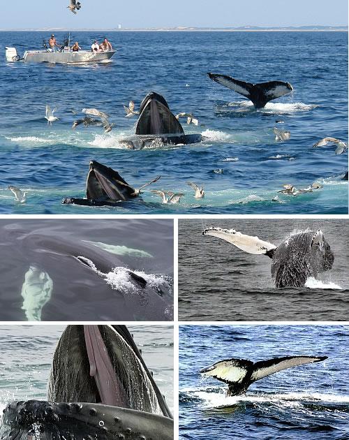 cape cod, us - whales