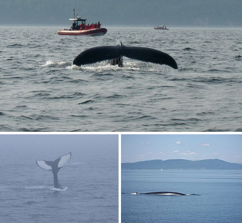 Tadoussac, Quebec - whales
