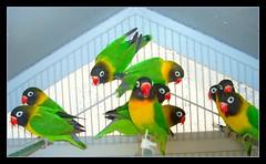 Ten in At-Ten-tion (LelisA) Tags: sensational lovebirds fabulous soe iloveit blueribbonwinner anaheimca colorfulbirds abigfave redyellowandgreen aplusphoto thatsclassy theperfectphotographer colorfullaward agapornisfischerspecie