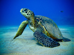 Honu - The Ancient One ([ CK ]) Tags: hawaii underwater turtle reptile maui freediving honu cheloniamydas greenseaturtle  canong9 30feetdeep pleasetakecareoftheocean
