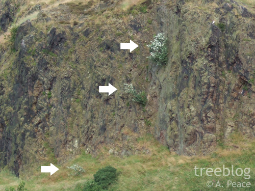 all three Dunsapie Crag rock whitebeams