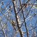 Pine Warbler Pena Blanca November 17, 2007 036