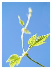 Images of my vacation 1 (Kirsten M Lentoft) Tags: blue sky sunlight macro green garden dof bokeh humle momse2600 mmmmuuahhhh kirstenmlentoft