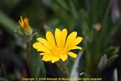 Flower -Macro- (A.al-Muzaini) Tags: flower macro nikon kuwait abdullah d60 ورده ماكرو aplusphoto abdullahalmuzaini almuzaini