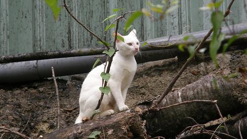 66.白貓很神秘