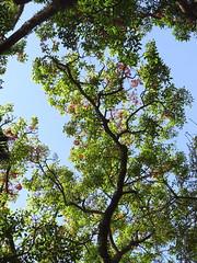 Suin - corticeira da serra - Bico de papagaio- nozzle parrot - Sapatinho de judeu - jew shoes tree (Erithrina falcata) arboretum J Botanico Sao Paulo Brazil (mauroguanandi) Tags: erythrina fabaceae erythrinafalcata suin mimamorflores redshrimptree nozzleparrot erithrinabrazil erithrinafalcata