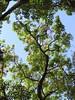 Suinã - corticeira da serra - Bico de papagaio- nozzle parrot - Sapatinho de judeu - jew shoes tree (Erithrina falcata) arboretum J Botanico Sao Paulo Brazil (mauroguanandi) Tags: erythrina fabaceae erythrinafalcata suinã mimamorflores redshrimptree nozzleparrot erithrinabrazil erithrinafalcata