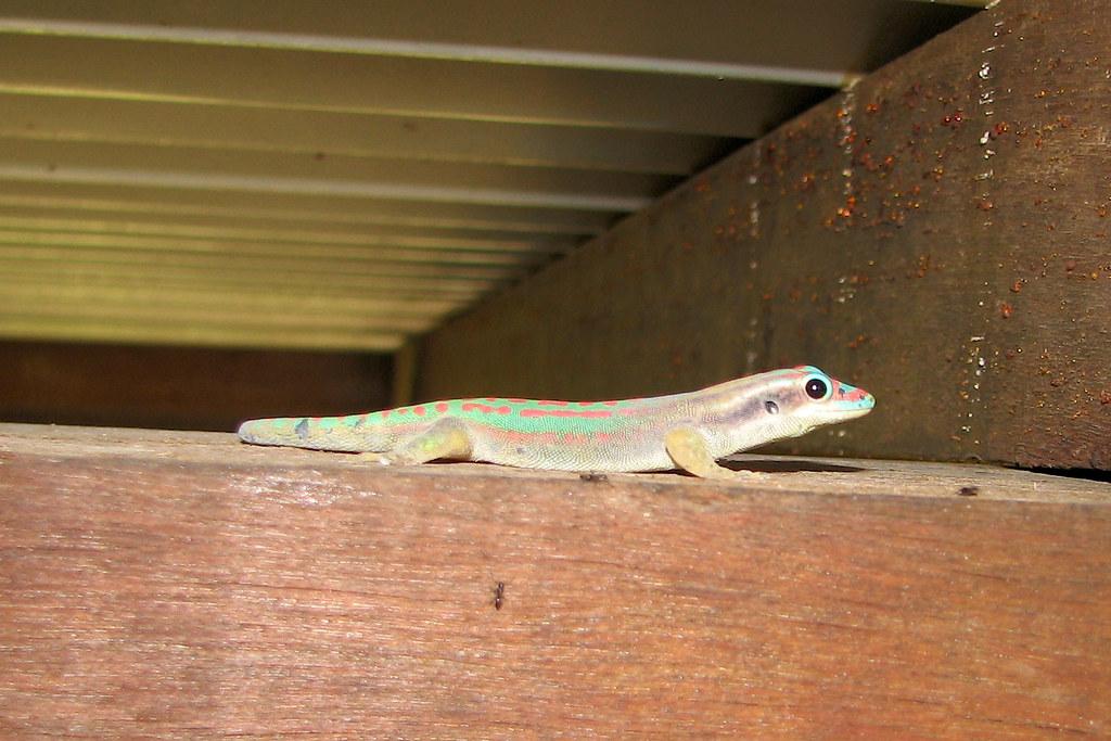 Mauritius Ornate Day Gecko, Phelsuma ornata