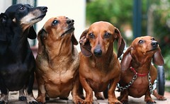 Time for that 'Group Shot'! (RR) Tags: dog pet pets cute dogs sausage dachshund mel preta weiner fajita weenie daschund doxies lineup doxie salsicha teca bigmomma salsichas pacoca abigfave duetos platinumphoto aplusphoto flickrchallengegroup flickrchallengewinner picturefantastic friendlychallengeswinner beautifulworldchallenges thechallengefactory damniwishidtakenthat petsaroundtheworld 4doxies