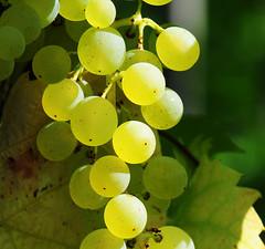 Grapes (Habub3) Tags: macro nature photo vineyard search nikon grapes makro weinberg d300 weintrauben serach viewonblack oltusfotos habub3