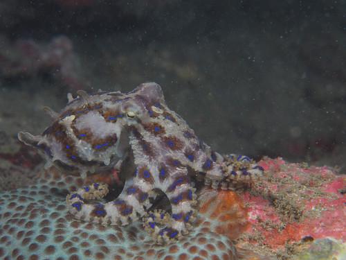 藍環章魚-BlueRing Octopus(1)