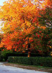 Orange Brilliance (J.Doyon Photography) Tags: autumn trees red orange fall colors beautiful leaves yellow leaf colorful sony newengland cybershot foliage rhodeisland sonycybershot falltime warmcolor orangeness northeastusa variotessar southernnewengland carlzeisslens dsch3 sonycybershotdsch3 northernri