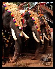 tuskers (Archana Ramaswamy) Tags: kerala ramaswamy archana dementa archanaramaswamy