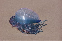 Portuguese Man-of-War on South Padre Island Beach