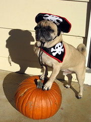 norman is a pirate for halloween