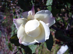 (Lasa Roberta Trojaike) Tags: white flower nature rose branco natureza flor rosa blumen natura weiss