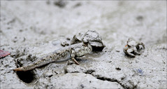 Mudskipper (Z.Faisal) Tags: black station river dark nikon crab nikkor bangladesh bangla mudskipper faisal desh d300 zamir khulna sundarban zamiruddin zamiruddinfaisal kalagachi kholpetua ttlsafari kalagachistation kholpetuariver zfaisal