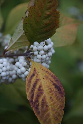 Callicarpa japonica 'Leucocarpa'