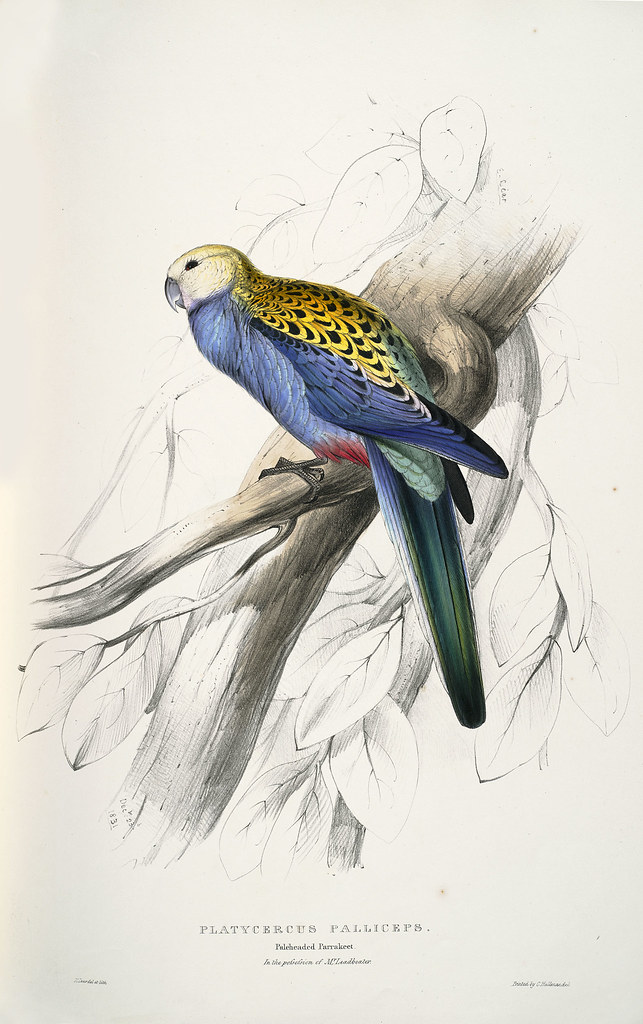 Platycercus palliceps. Paleheaded parrakeet