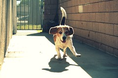 Hey, you :) (---^^--polly) Tags: dog cute beagle angel running